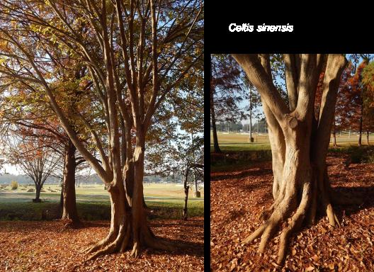 Celtis sinensis arboretum