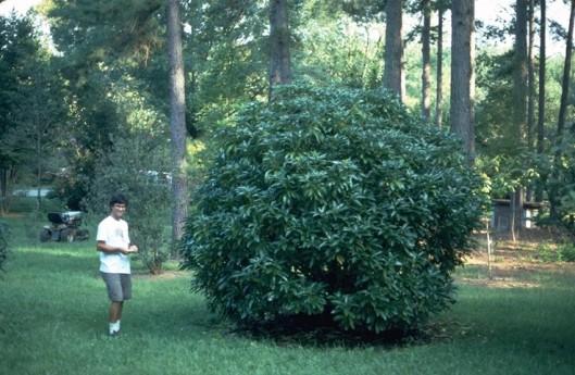 Daphniphyllum-keithgarden
