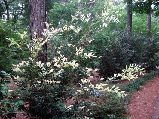 Distylum variegated Mr. Ishi 09-03-08
