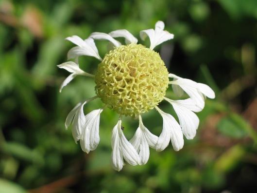 Gaillardia aestivalis var winklerii flower