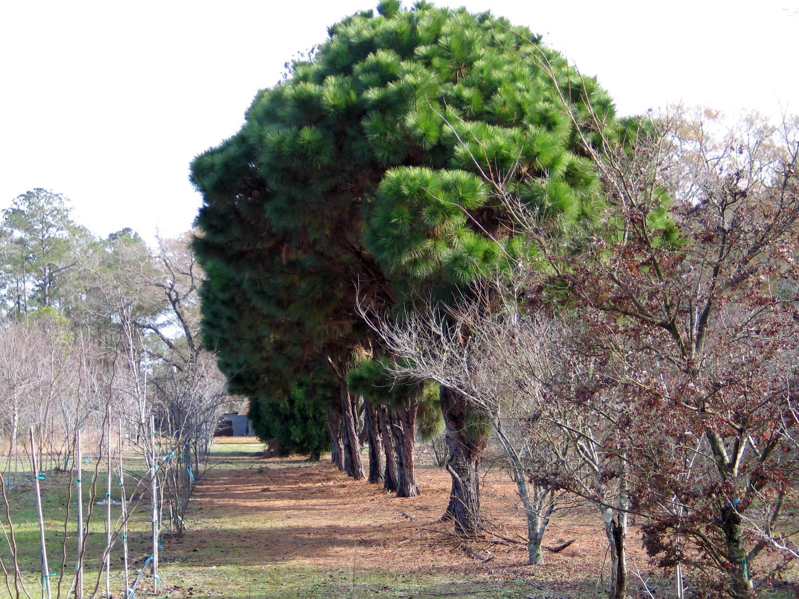 Pinus Taeda Nana Dwarf Loblolly Dave Creech