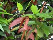 Quercus risophylla 03-24-07