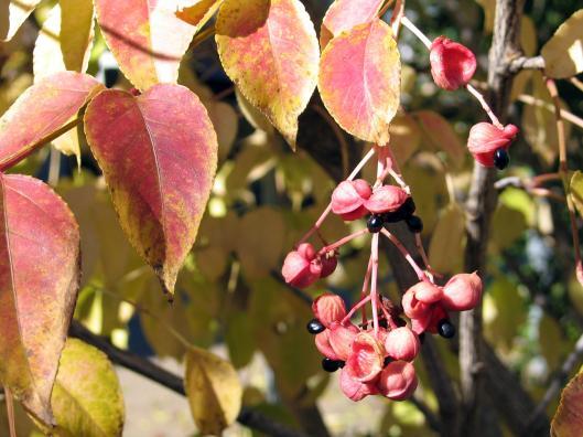 Euscaphis japonica 12-09-2004