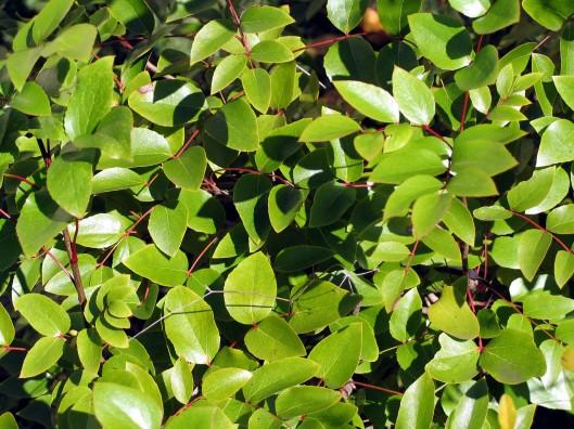 mahonia-gracilis-12-09-07