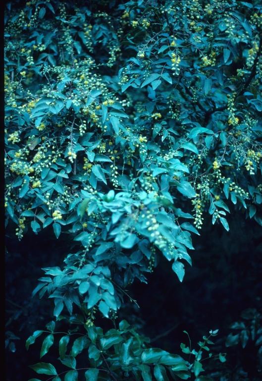 mahonia-gracilis-mexico