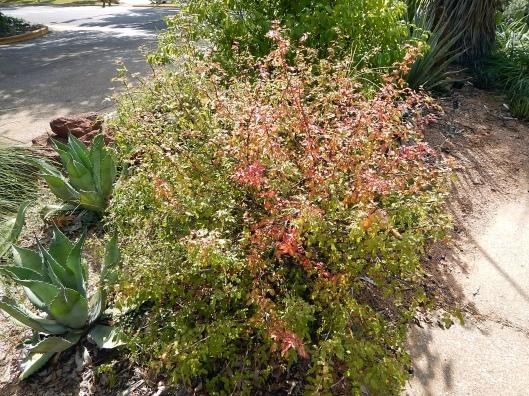 mahonia-swazeyi-x-trifoliata-calhoun-1