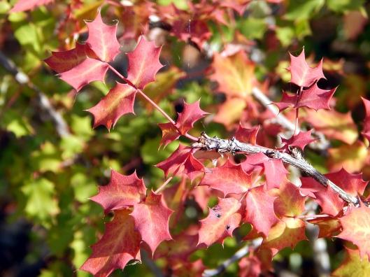 mahonia-swazeyi-x-trifoliata-calhoun-2