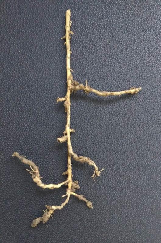 hamabo-roots