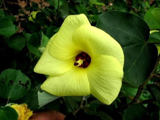 hibiscus-hamabo-06-05-08