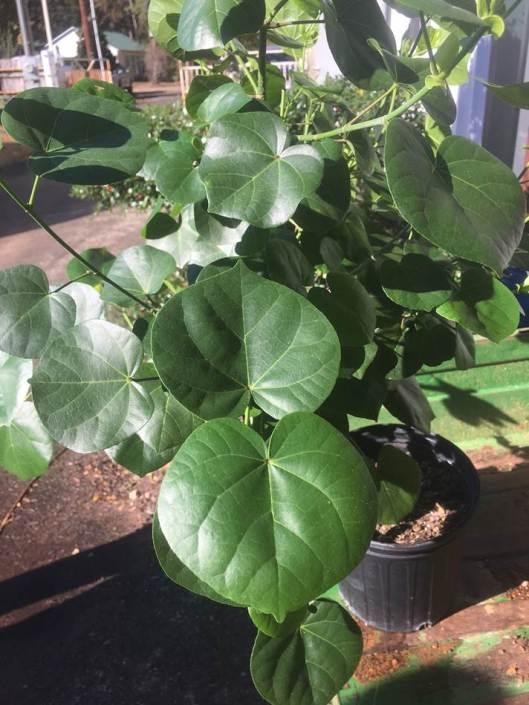 hibiscus-hamabo-adam-black