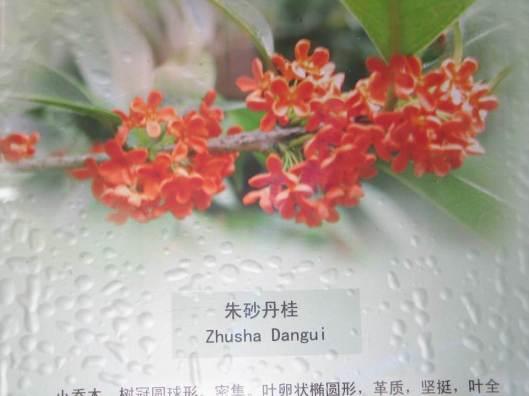 0smanthus-fragrans-zhusha-dangui