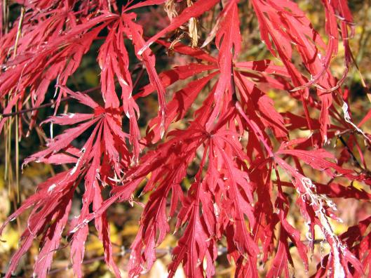 acer-palmatum-crimson-queen-11-30-06