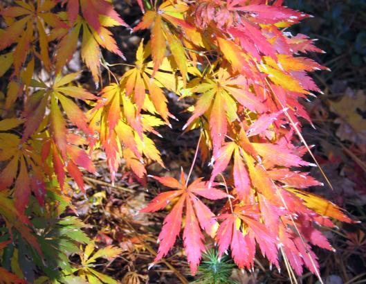 acer-palmatum-omura-yama-2-12-08-04