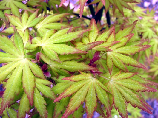 acer-palmatum-orange-dream-2-03-18-07