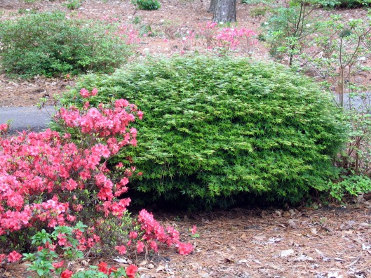 acer-palmatum-oto-hime-cutting-grown