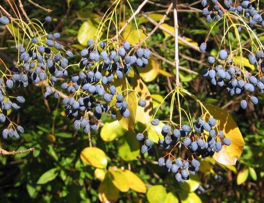 chionanthus-retusus-fruit-1-21-06