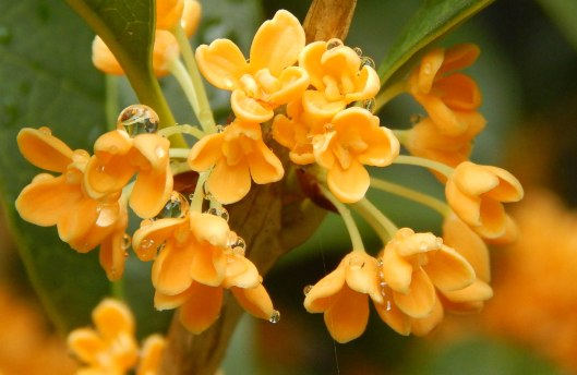 Osmanthus fragrans a chinese treasure dave creech for Osmanthus fragrans aurantiacus