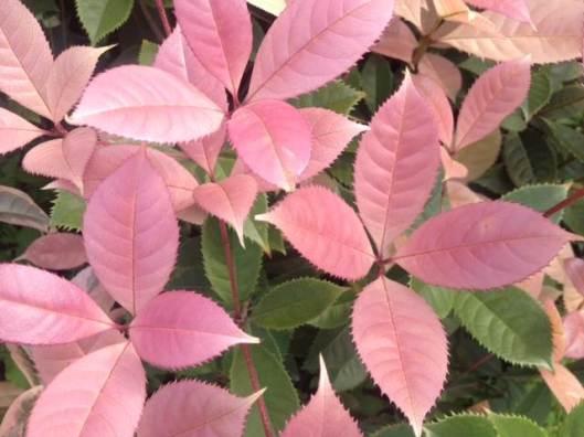 osmanthus-fragrans-pink
