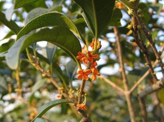 osmanthus-fragrans-xue
