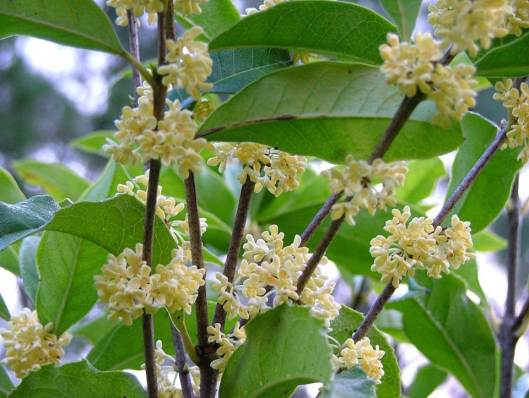 osmanthus-nanjing-beauty-2