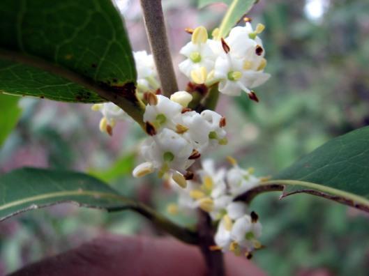osmanthusyunnanensis03-11-10