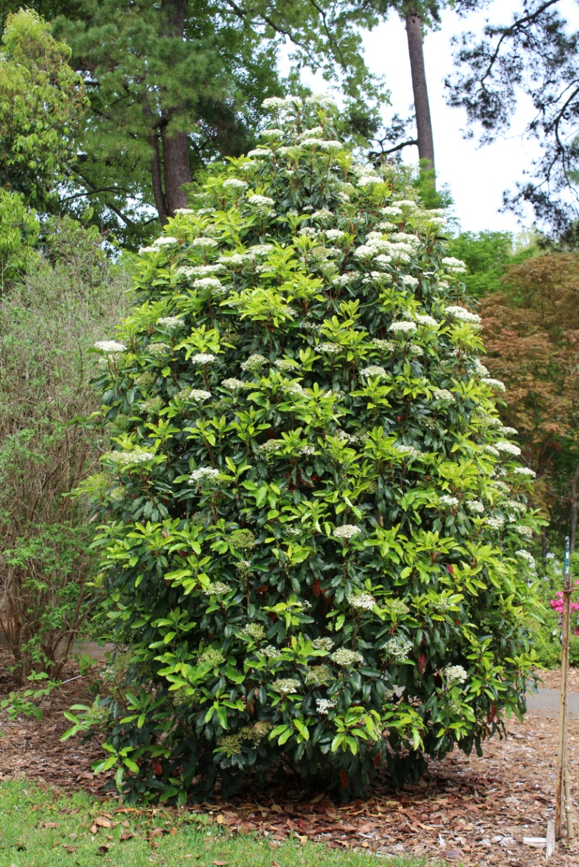 Photinia Serrulata Chinese Photinia Dave Creech
