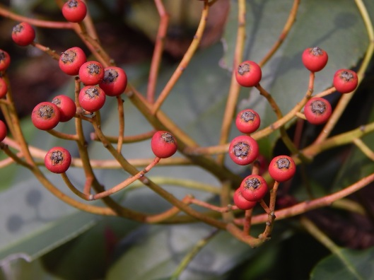photinia-serrulata-fruit