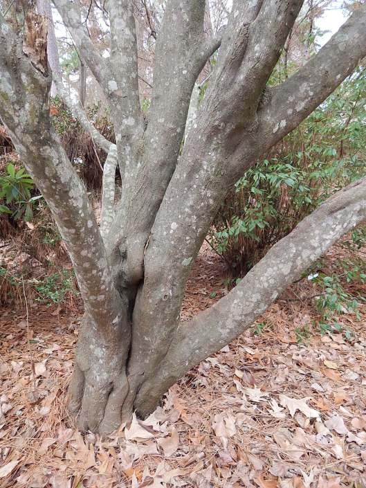 styrax-japonica-emerald-pagoda-trunk