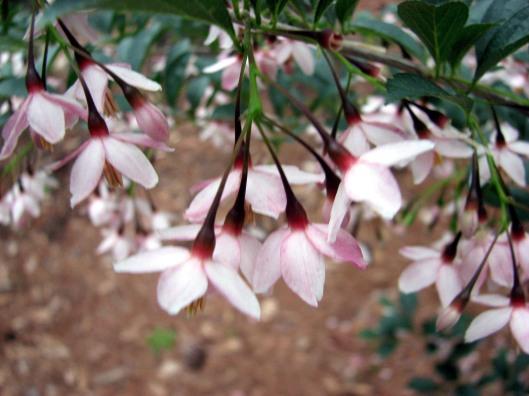 styrax-japonica-rubrum-pendula2-on-emerald-pagoda-rs-04-23-07