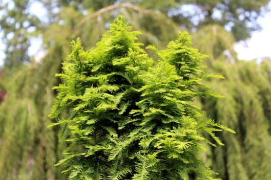 taxodium-little-guy-foliage