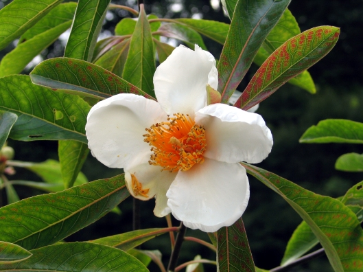 franklinia-bloom