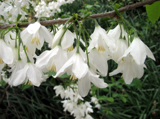halesia-diptera-var-magniflora-03-23-07