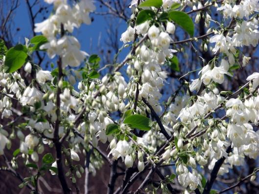halesia-diptera-var-magniflora-03-27-08