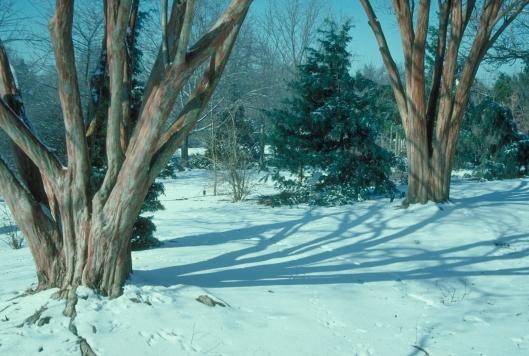 lagerstroemia-faurei-ncsu-snow