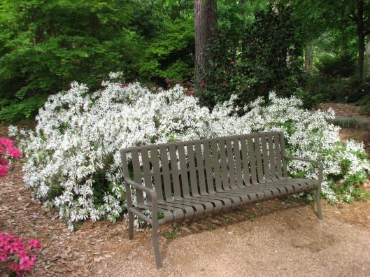 rhododendron-kormo-white