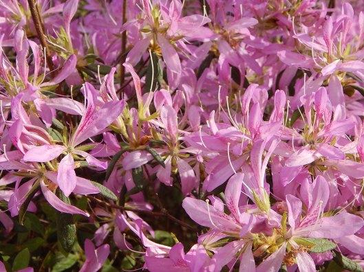 rhododendron-koromo-3
