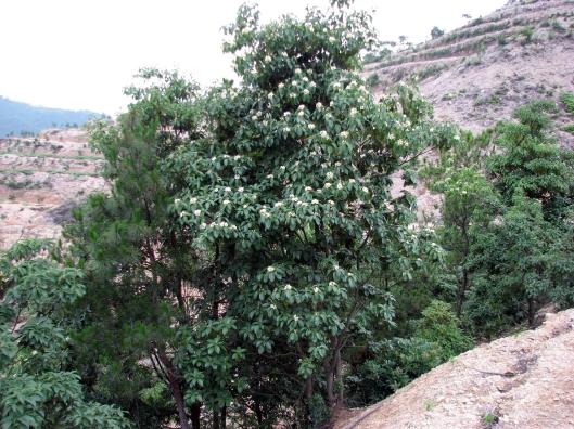 schima-tree-06-17-07