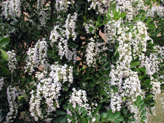sophora-secundiflorawhite