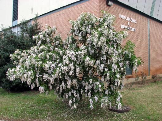 sophora-secundiflorawhite03-09-09