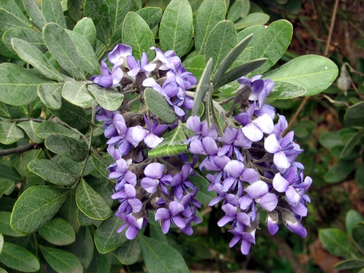 sophorasecundifloravarpulvurlenta03-10-09