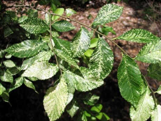 ulmus-parvifolia-blizzard-06-11-08