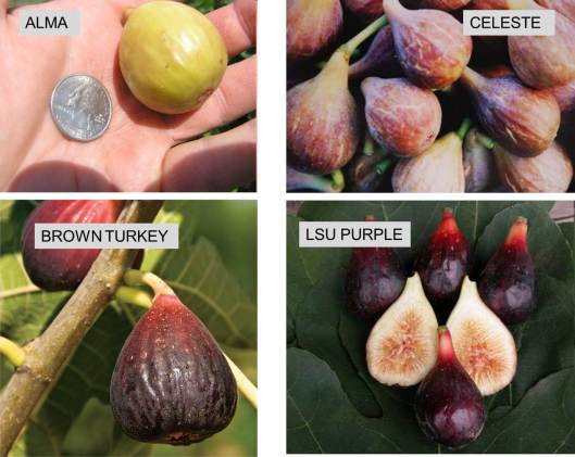 fig-four-varieties