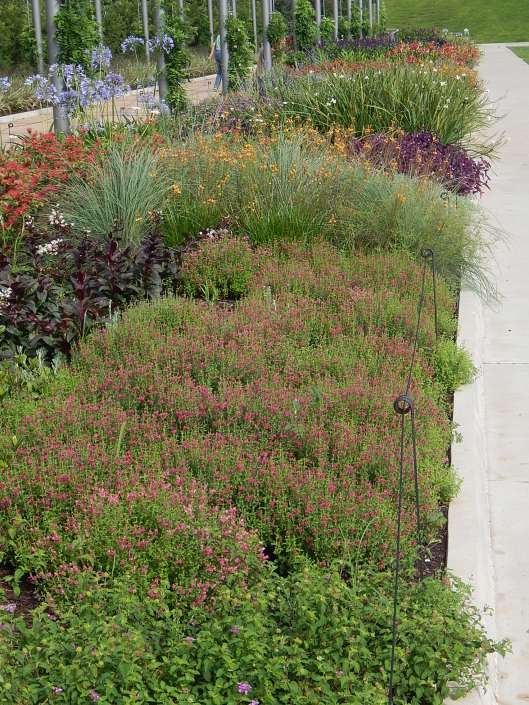 scuttelaria bicentennial garden