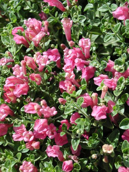 Scuttelaria suffrutescens-5a