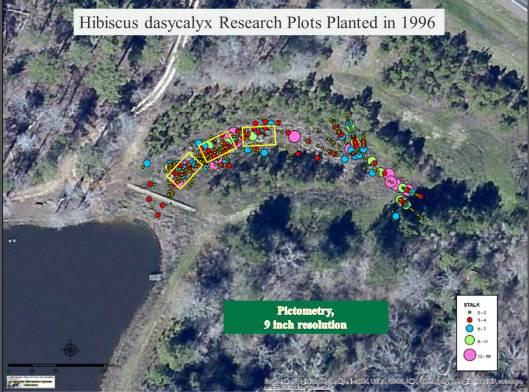 Hibiscus dasycalyx 1