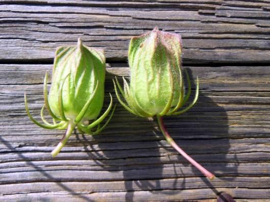 Hibiscus dasycalyx 10