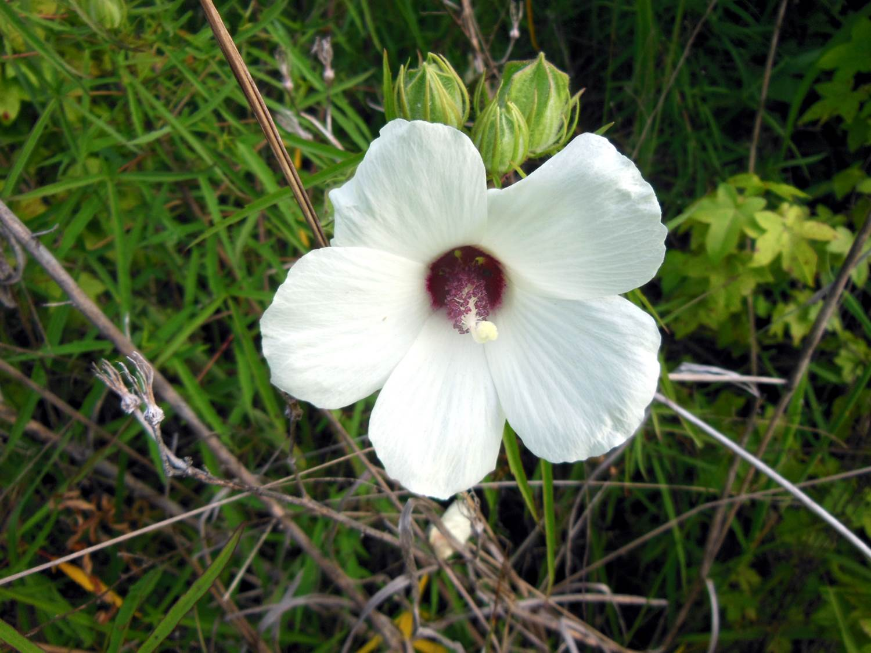Hibiscus dasycalyx11