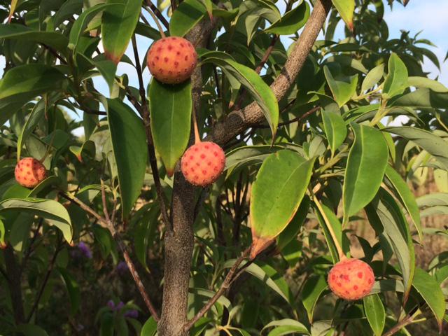 Cornus angustata 09-29-2015 Little Rock