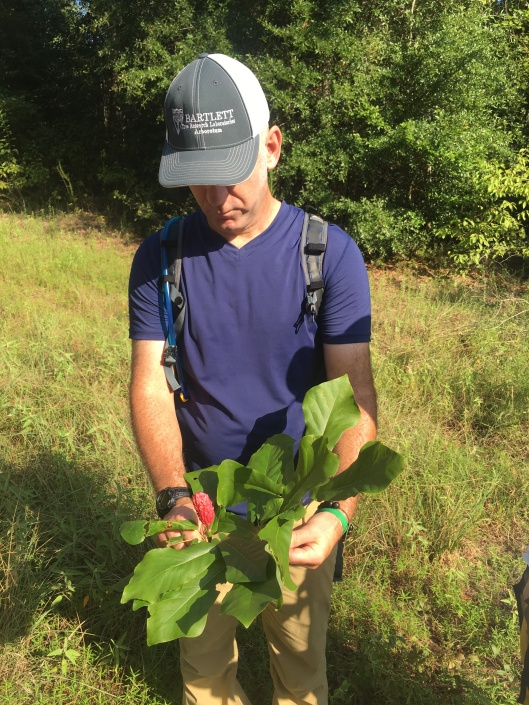 Magnolia pyramidata 11