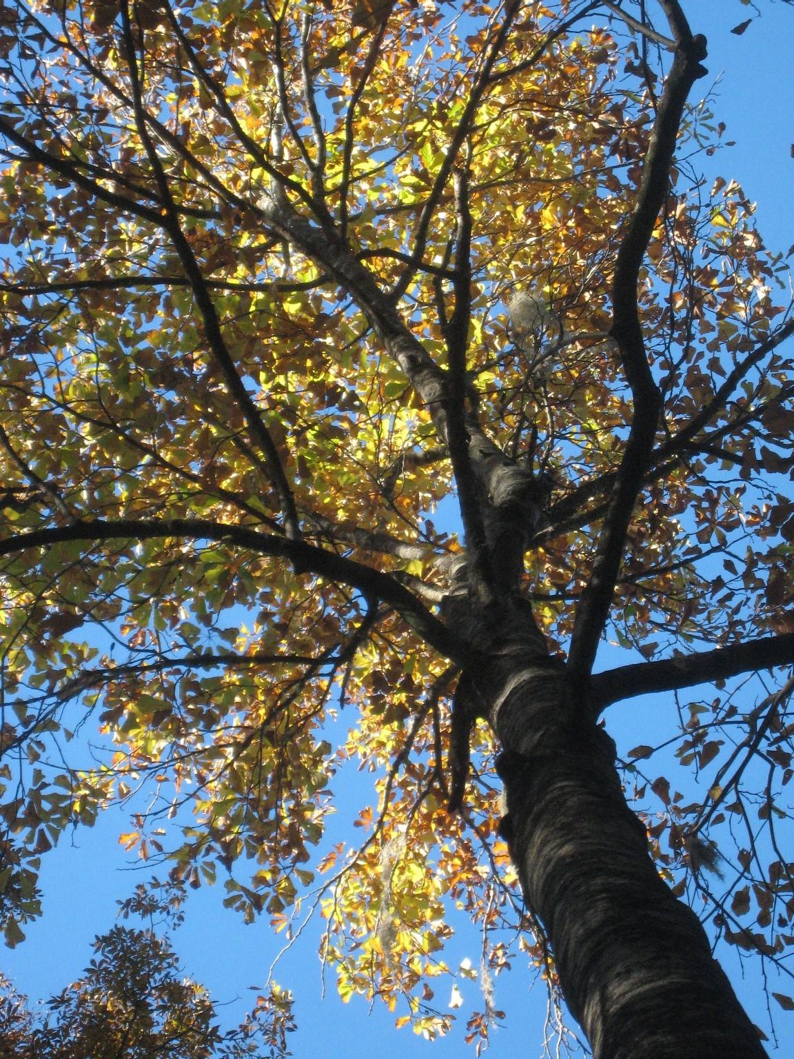 magnolia pyramidata - richard may florida